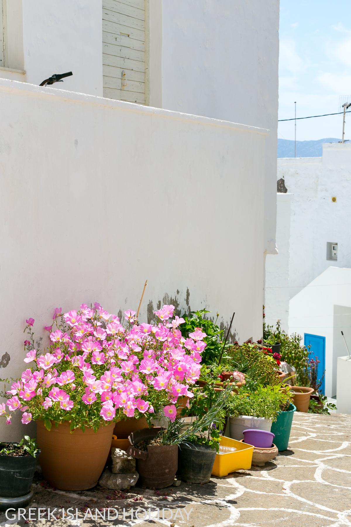 Greek Island Holiday blog Kimolos Chorio pink flowers